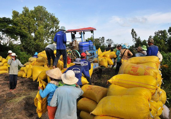 Farmers in Mekong Delta, bumper harvest of rice, good price, winter-spring paddy, increased consumption, shortage of fresh water, saltwater intrusion
