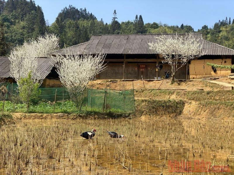 Plum blossoms in Bac Ha: spring remains