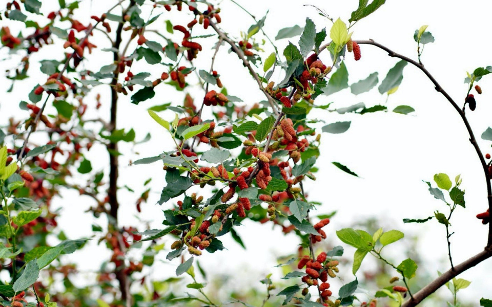 Mulberry fields in Hanoi turn red when April comes