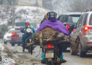 Gelid cold kills hundreds of buffaloes, cows