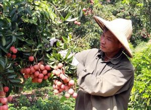 Vietnam ready to monitor lychee exports to Japan