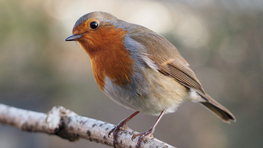 A proposed 'quantum compass' for songbirds just got more plausible